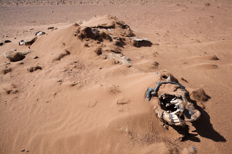 This is what this place does to things. This is an old pack camel who died in one of the bivouacs from disease. After it's death, the owners brought it out to return to the desert.