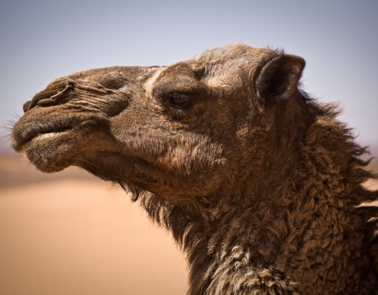 "Shariff (""Sha-reef""), the camel. Shariff is 20, and like his buddy Mimoun, will likely be doing this for ten more years. The nose ring is actually used by the camel guide to lead the animal."