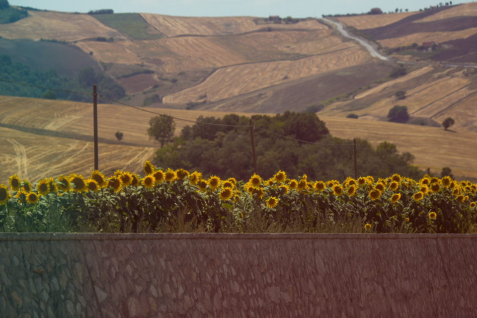 Sunflowers growing by the highway near Campobasso.