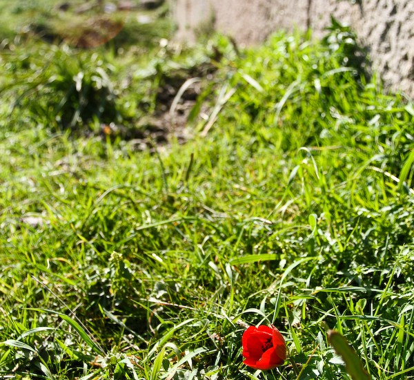 Poppies dot the landscape of ancient ruins.