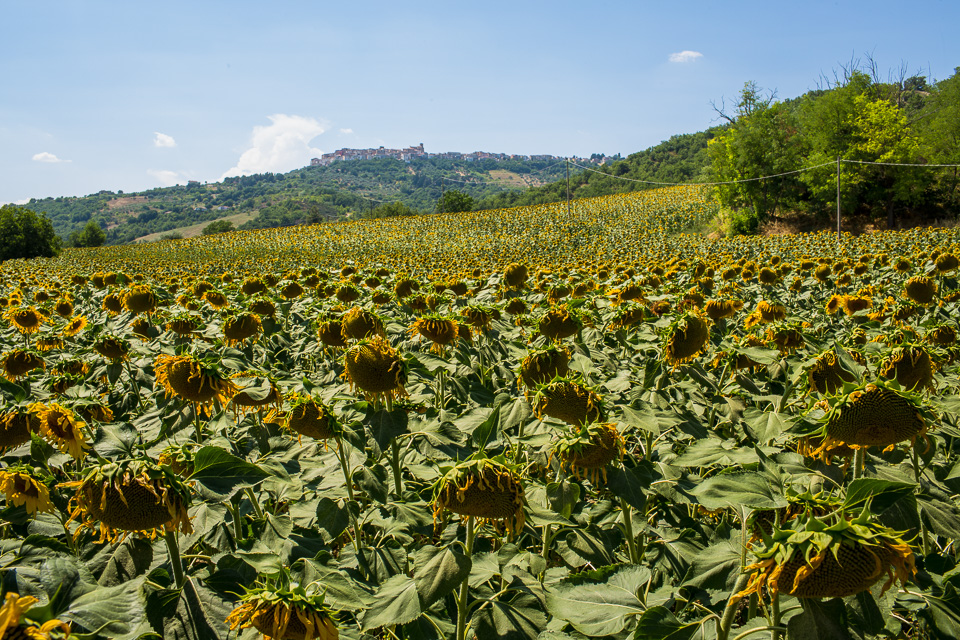 Sunflowers growing by the highway near Campobasso. You can see a hill town in the distance.